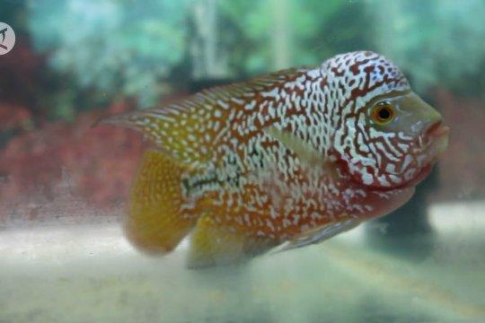 Palembang lengkapi Pasar Ikan Modern dengan Sentra Ikan Hias