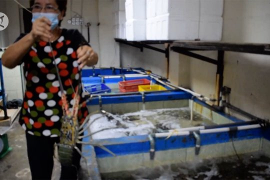 Tidak bisa ekspor, penjualan lobster di Sumbar turun