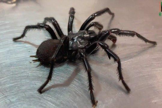NSW Australia waspada serangan laba-laba mematikan