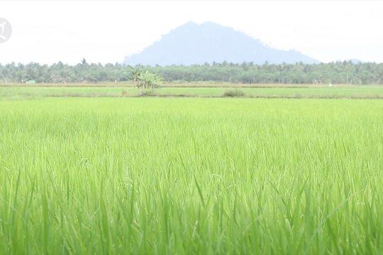 Pemulihan sektor pertanian Kalsel pasca banjir