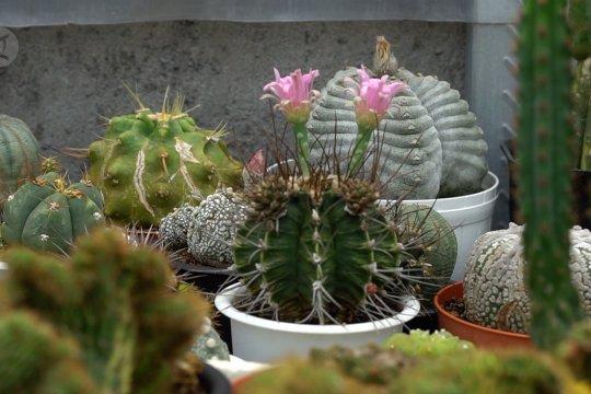 Raup untung dari budi daya tanaman kaktus