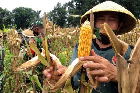 Dukung swasembada pangan, Kodim Pekalongan panen jagung