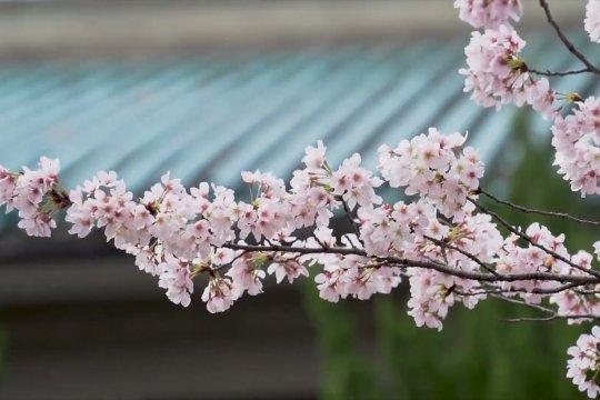 Wuhan beri nakes China akses gratis nikmati musim sakura