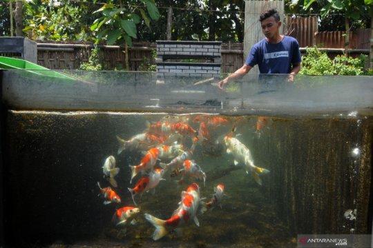 Santri belajar budi daya ikan koi di pesantren
