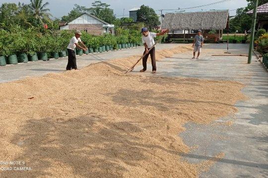Petani Lebak berharap bantuan di tengah anjloknya harga gabah