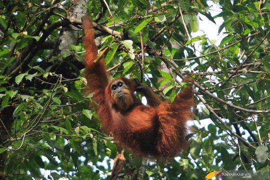 Tiga ekor orangutan dilepasliarkan di kawasan TNBK Kapuas Hulu