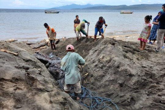KKP tangani kejadian Paus Orca terdampar di Banyuwangi Jatim