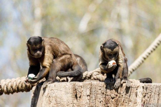 Monyet capuchin coklat memakan telur Paskah