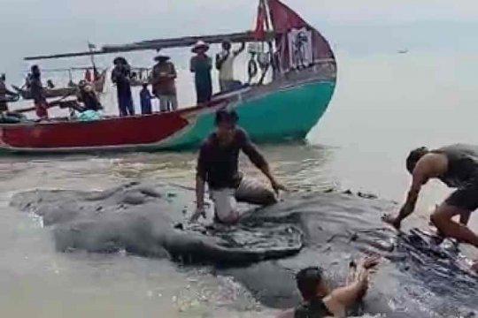 Nelayan temukan paus dalam kondisi mati di perairan Cirebon