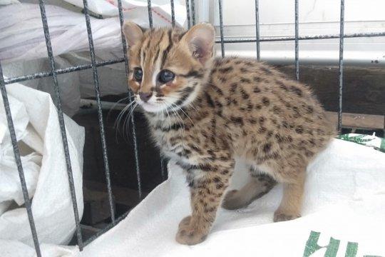 Warga kembali temukan kucing hutan masuk perkampungan di Kediri
