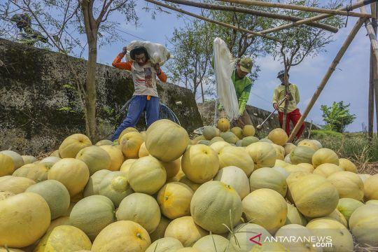 Permintaan buah melon meningkat saat Ramadhan