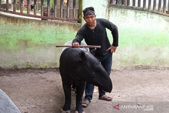 Masuk bulan lahir, Taman Rimba Jambi tunggu kelahiran anak tapir