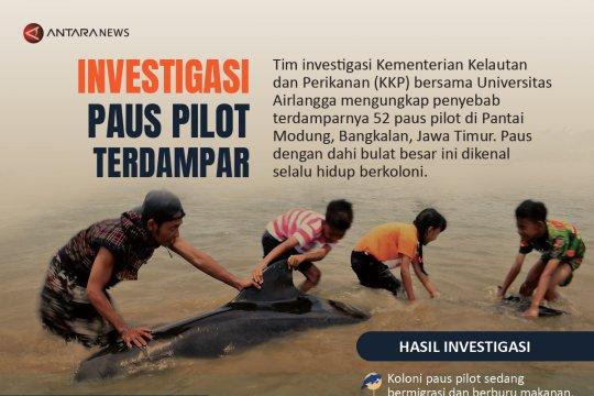 Investigasi paus pilot terdampar