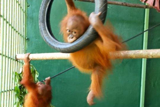 BBKSDA Sumut terima  dua orangutan sumatera dari Jawa Tengah