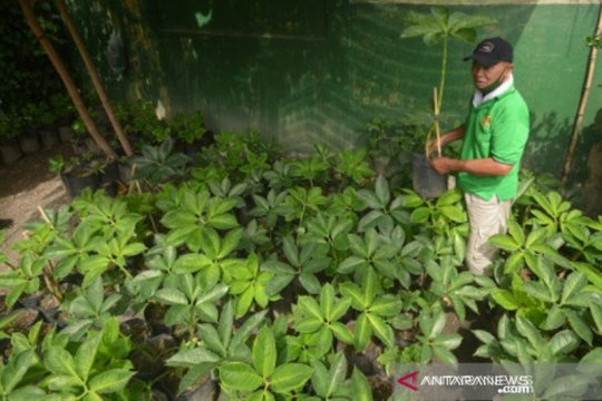 Petani di Padang mulai budidayakan tanaman porang