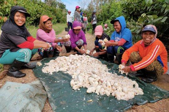 Mondelez dan OFI bangun pertanian kakao paling berkelanjutan di Maluku