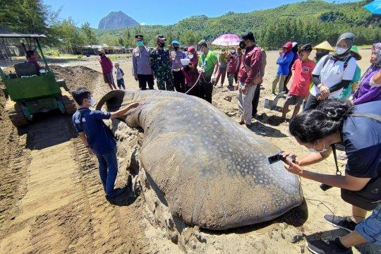 Ikan hiu paus terdampar di pantai Tulungagung akhirnya dikubur