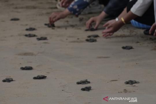 156 tukik jenis lekang dilepas di pantai Aceh Besar