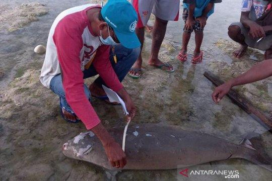Seekor dugong terdampar di Sabu Raijua