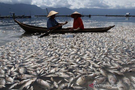 Ikan mati di Danau Maninjau