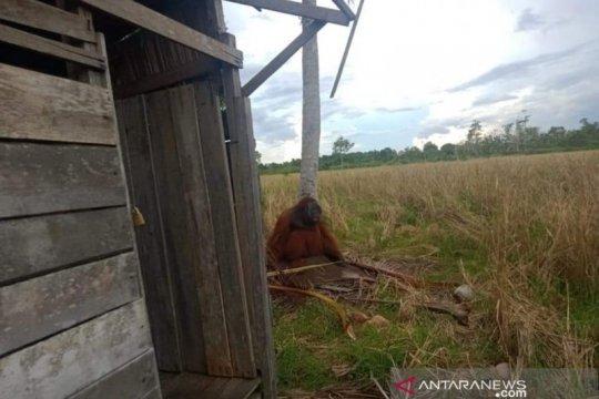 Orangutan masuk perkampungan warga di KKU dan rusak pohon kelapa