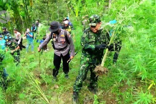 BNN musnahkan 70 ribu batang ganja di Aceh Utara