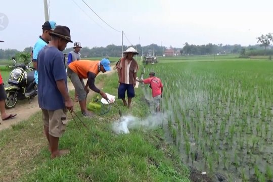 "Cegah gagal panen, petani Ngawi adakan ""gropyokan"" tikus"