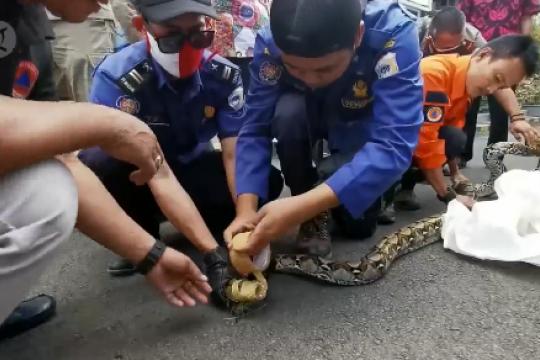 Ular piton mendadak mucul di Pendopo Kabupaten Pandeglang