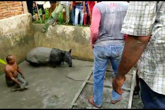 Tapir betina terjebak 6 jam dalam kolam ikan di Pekanbaru