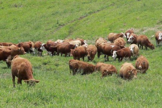 Peternakan sapi perah di Taman Hutan Raya Bung Hatta