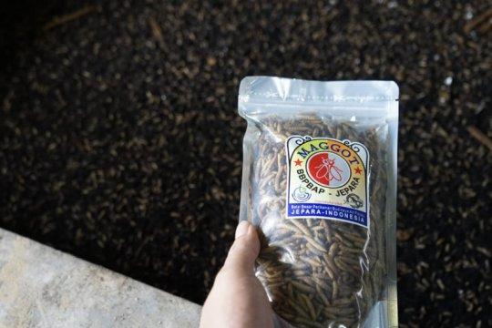 KKP ungkap keunggulan maggot sebagai bahan baku pakan ikan mandiri