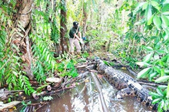 BKSDA selidiki penyebab kematian buaya di Sungai Mentaya