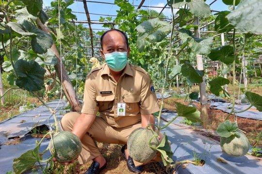 BPP Sukapura panen 200 buah melon seberat 400 kilogram