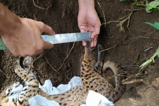 Warga Agam temukan kucing hutan kondisi mati di Pasar Lubukbasung