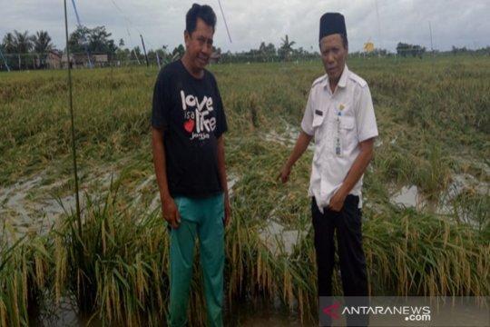 Seratusan hektare tanaman padi di Kotabaru terendam banjir