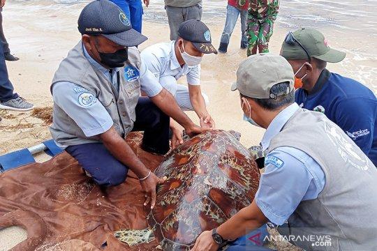 Penyu sitaan Polair Polda Papua Barat dilepas ke laut