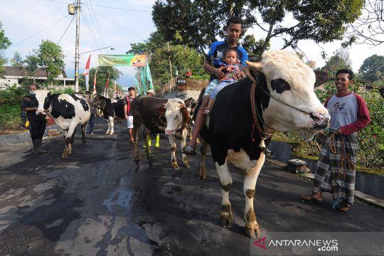 Tradisi Lebaran Sapi di kaki Gunung Merapi