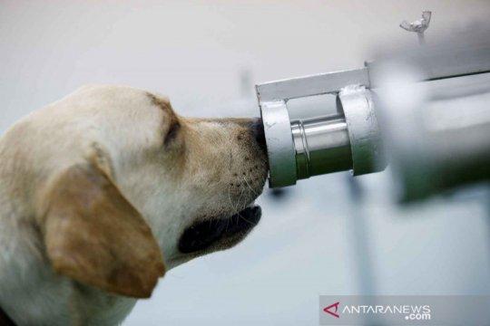 Anjing dilatih mengendus COVID-19 melalui sampel keringat