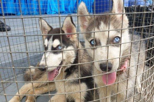Patroli TNI AL amankan tiga ekor anjing ras di perairan Jayapura