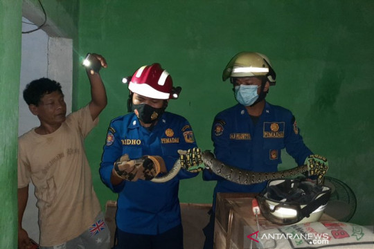 Gulkarmat Jakarta Timur evakuasi ular sanca dari plafon rumah warga