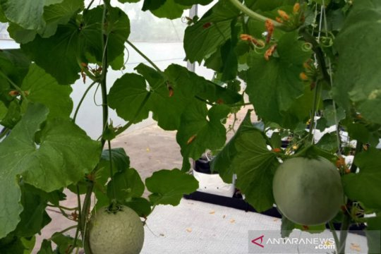 "Agro Jabar panen melon hasil ""smart greenhouse"" hidroponik"