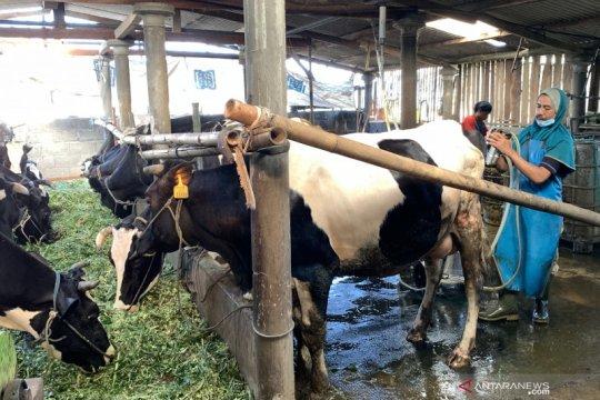 Keberadaan Mantri BRI dorong pengembangan usaha sapi perah warga desa
