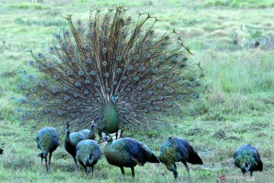 Begini cara merak hijau jantan tarik perhatian lawan jenisnya di musim kawin