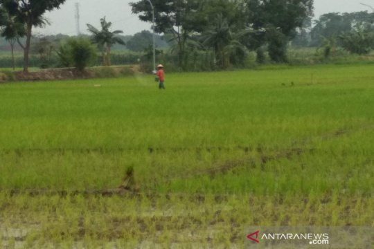 Jasindo bayarkan klaim 114,47 hektare tanaman padi gagal panen