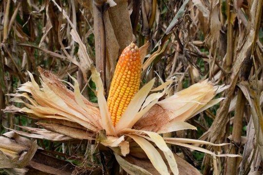 Produksi jagung Kota Padang kuartal pertama 2021 capai 186 ton
