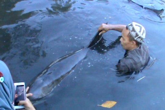 Terdampar di tambak warga, lumba-lumba di Maros dievakuasi ke laut