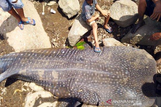 Warga Kayong Utara temukan seekor hiu paus terdampar di Pantai Kuari