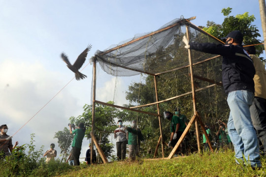 Tiga elang paria dilepasliarkan di Suaka Margasatwa Ko'mara