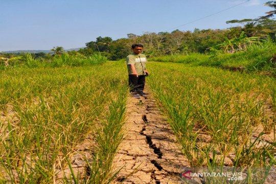 Tanaman padi seluas 25 hektare di Kulon Progo gagal panen