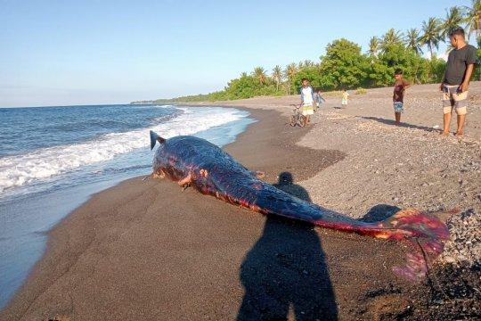 Seekor paus ditemukan mati terdampar di pantai Lombok Utara